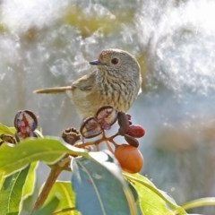 Acanthiza pusilla (Brown Thornbill) at Meroo National Park - 28 May 2014 by Charles Dove