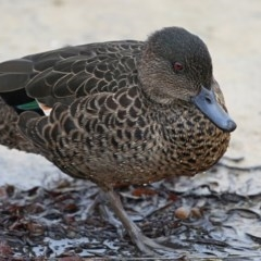 Anas castanea (Chestnut Teal) at Lake Conjola, NSW - 29 May 2014 by Charles Dove