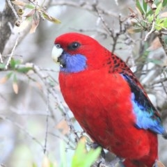 Platycercus elegans (Crimson Rosella) at South Pacific Heathland Reserve - 27 May 2014 by Charles Dove