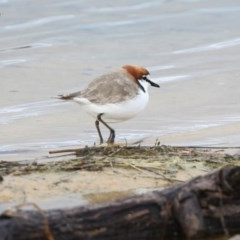 Charadrius ruficapillus (Red-capped Plover) at Conjola Bushcare - 29 May 2014 by CharlesDove
