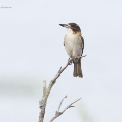Cracticus torquatus (Grey Butcherbird) at Ulladulla Wildflower Reserve - 22 May 2014 by Charles Dove