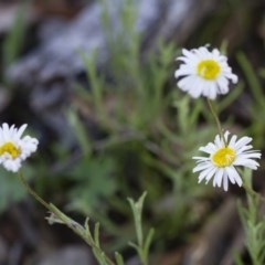 Brachyscome dentata (Lobe-seed Daisy) at Illilanga & Baroona - 22 Oct 2014 by Illilanga