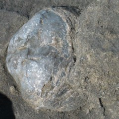 Bivalve .... Desmodont (Desmodont Shell) at Wairo Beach and Dolphin Point - 26 Jul 2008 by JackieMiles