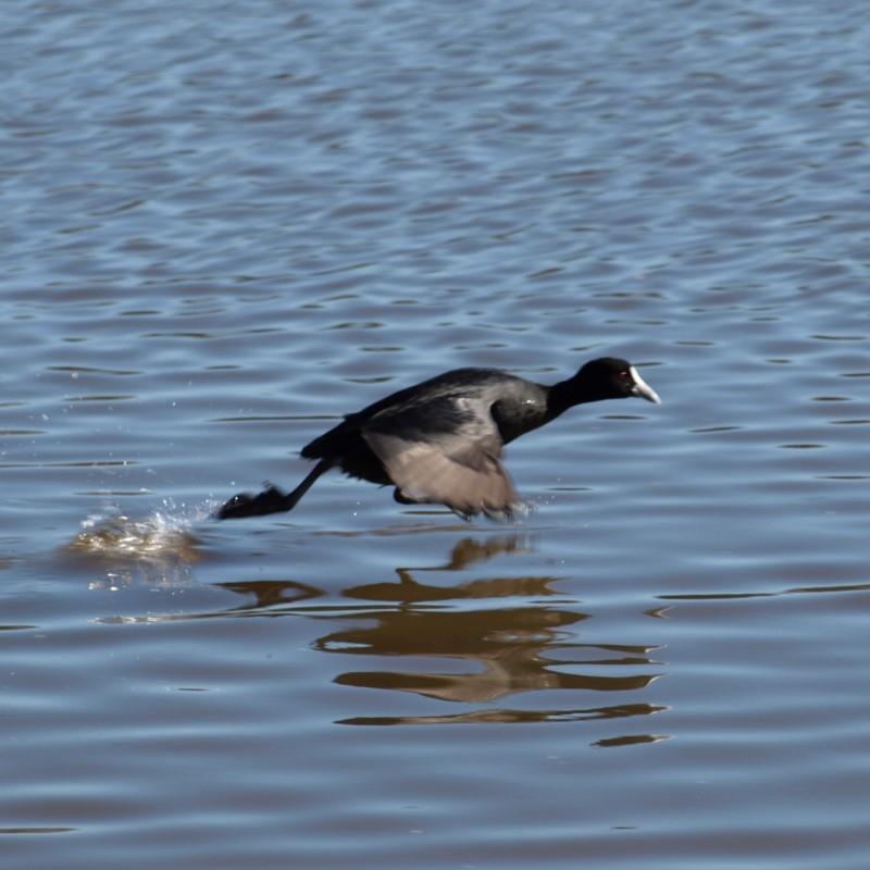 Fulica atra at Jerrabomberra Wetlands - 21 Jul 2018