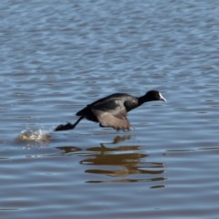 Fulica atra (Eurasian Coot) at Jerrabomberra Wetlands - 21 Jul 2018 by MatthewFrawley