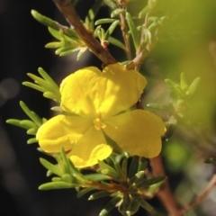 Hibbertia riparia (Erect Guinea-flower) at South Pacific Heathland Reserve - 1 Nov 2014 by NicholasdeJong