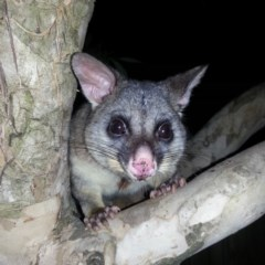 Trichosurus vulpecula (Common Brushtail Possum) at Kambah, ACT - 25 Jul 2018 by MatthewFrawley