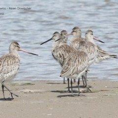 Limnodromus semipalmatus (Asian Dowitcher) at Comerong Island, NSW - 1 Dec 2013 by Charles Dove