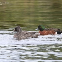 Stictonetta naevosa (Freckled Duck) at Wairo Beach and Dolphin Point - 25 Jun 2014 by Charles Dove