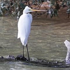 Ardea alba (Great Egret) at Narrawallee Bushcare - 28 Jun 2014 by Charles Dove