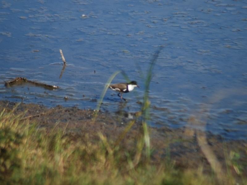 Erythrogonys cinctus at Jerrabomberra Wetlands - 25 Apr 2018