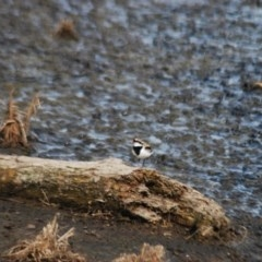 Elseyornis melanops (Black-fronted Dotterel) at Jerrabomberra Wetlands - 24 Apr 2018 by natureguy