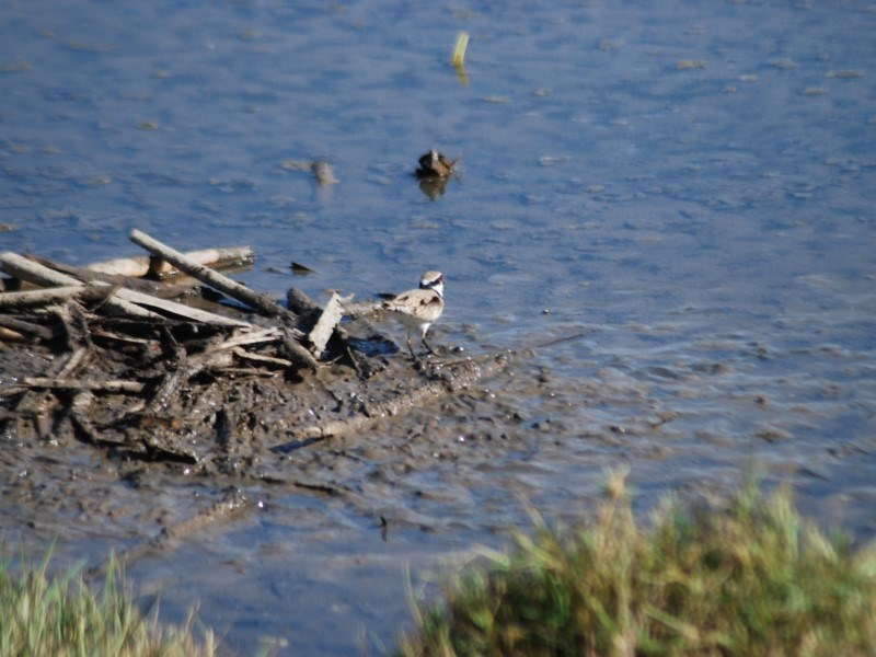 Elseyornis melanops at Jerrabomberra Wetlands - 25 Apr 2018