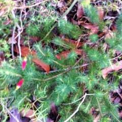 Astroloma pinifolium (Pine Heath) at Booderee National Park - 15 Jun 2017 by NicholasdeJong
