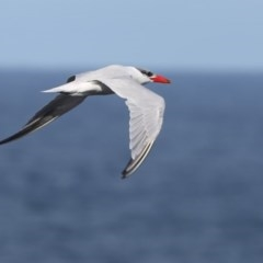 Hydroprogne caspia (Caspian Tern) at Coomee Nulunga Cultural Walking Track - 13 Jun 2014 by Charles Dove