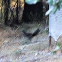 Menura novaehollandiae (Superb Lyrebird) at Undefined - 26 Jul 2018 by nickhopkins