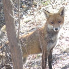 Vulpes vulpes (Red Fox) at Wanniassa Hill - 27 Jul 2018 by KumikoCallaway