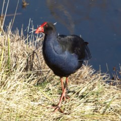 Porphyrio melanotus (Australasian Swamphen) at Jerrabomberra Wetlands - 21 Jul 2018 by MatthewFrawley