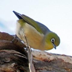 Zosterops lateralis (Silvereye) at Jerrabomberra Wetlands - 27 Jul 2018 by RodDeb