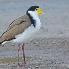 Vanellus miles (Masked Lapwing) at Burrill Lake, NSW - 3 Jun 2014 by Charles Dove