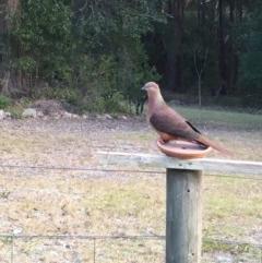 Macropygia (Macropygia) amboinensis (Brown Cuckoo-dove) at Conjola, NSW - 26 Aug 2018 by Margieras