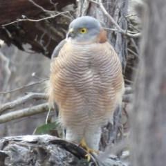 Accipiter cirrocephalus (Collared Sparrowhawk) at Piney Ridge - 23 Jul 2018 by Christine