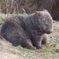 Vombatus ursinus (Wombat) at Uriarra Recreation Reserve - 27 Jul 2018 by Christine