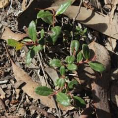 Eucalyptus macrorhyncha (Red Stringybark) at Gundaroo, NSW - 23 Jul 2018 by MaartjeSevenster