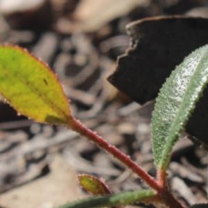 Eucalyptus macrorhyncha at Gundaroo, NSW - 23 Jul 2018