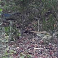Ptilonorhynchus violaceus (Satin Bowerbird) at Macarthur, ACT - 29 Jul 2018 by RodDeb