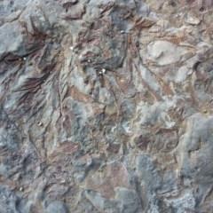Bryozoan Fenestella (Fenestella Bryozoan or Sea Fan) at Undefined - 29 Jul 2018 by mjjefferis