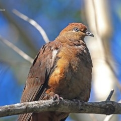 Macropygia (Macropygia) amboinensis (Brown Cuckoo-dove) at Ulladulla - Millards Creek - 22 Jul 2014 by Charles Dove