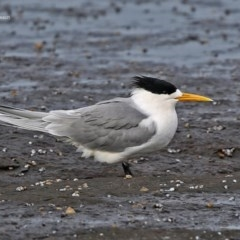 Thalasseus bergii (Crested Tern) at South Pacific Heathland Reserve - 23 Jul 2014 by Charles Dove