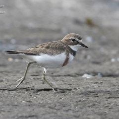 Charadrius bicinctus (Double-banded Plover) at South Pacific Heathland Reserve - 23 Jul 2014 by Charles Dove
