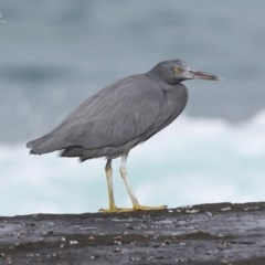 Egretta sacra (Eastern Reef Egret) at South Pacific Heathland Reserve - 23 Jul 2014 by Charles Dove
