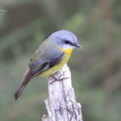 Eopsaltria australis (Eastern Yellow Robin) at Ulladulla, NSW - 24 Jul 2014 by Charles Dove