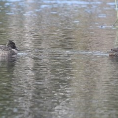 Stictonetta naevosa (Freckled Duck) at Wairo Beach and Dolphin Point - 23 Jul 2014 by Charles Dove