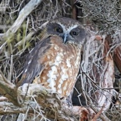 Ninox novaeseelandiae (Southern Boobook) at South Pacific Heathland Reserve - 23 Jul 2014 by Charles Dove