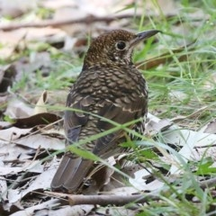 Zoothera lunulata (Bassian Thrush) at One Track For All - 19 Jul 2014 by Charles Dove