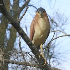 Nycticorax caledonicus (Nankeen Night-Heron) at Wairo Beach and Dolphin Point - 8 Jul 2014 by Charles Dove