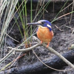 Ceyx azureus (Azure Kingfisher) at Wairo Beach and Dolphin Point - 7 Jul 2014 by Charles Dove