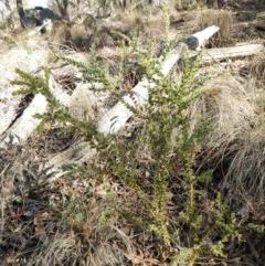 Acacia vestita at Aranda Bushland - 30 Jul 2018