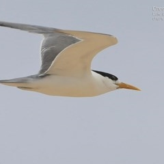 Thalasseus bergii (Crested Tern) at Cunjurong Point, NSW - 12 Dec 2014 by Charles Dove