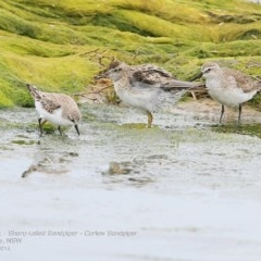 Calidris (Ereunetes) ruficollis (Red-necked Stint) at Jervis Bay National Park - 17 Dec 2014 by Charles Dove