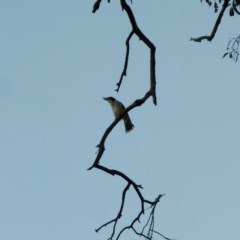 Cracticus torquatus (Grey Butcherbird) at Hughes Grassy Woodland - 31 Jul 2018 by JackyF