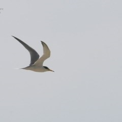 Sternula albifrons (Little Tern) at Cunjurong Point, NSW - 1 Dec 2014 by CharlesDove