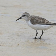 Calidris (Ereunetes) ruficollis (Red-necked Stint) at Cunjurong Point, NSW - 3 Dec 2014 by Charles Dove