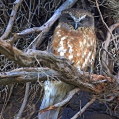 Ninox novaeseelandiae (Southern Boobook) at South Pacific Heathland Reserve - 21 Aug 2014 by Charles Dove