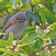 Caligavis chrysops (Yellow-faced Honeyeater) at Burrill Lake Aboriginal Cave Walking Track - 20 Aug 2014 by Charles Dove
