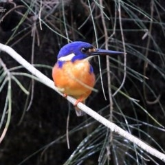 Ceyx azureus (Azure Kingfisher) at Wairo Beach and Dolphin Point - 7 Aug 2014 by Charles Dove